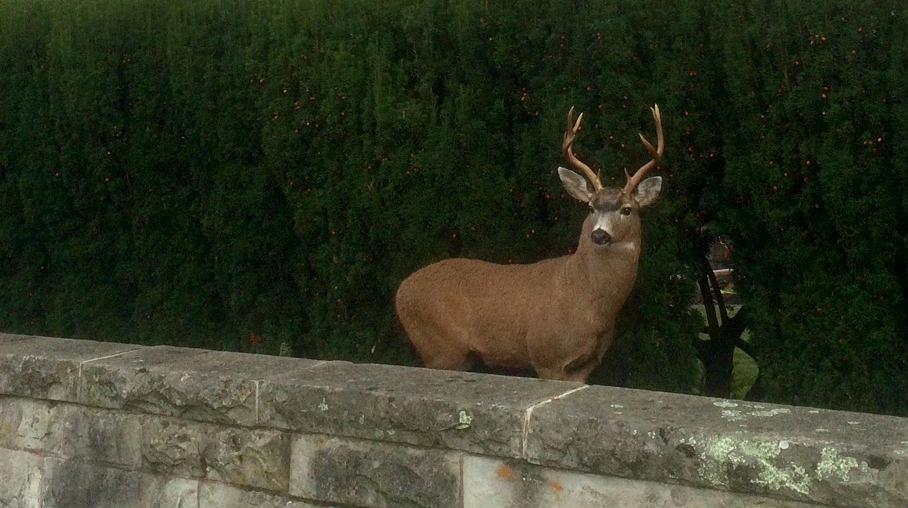 "Blacktail deer looks towards AVP and says ""hi students"""