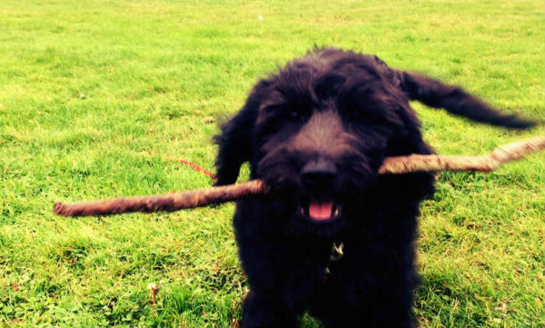 Bruce is a happy social dog with a stick! And friends!