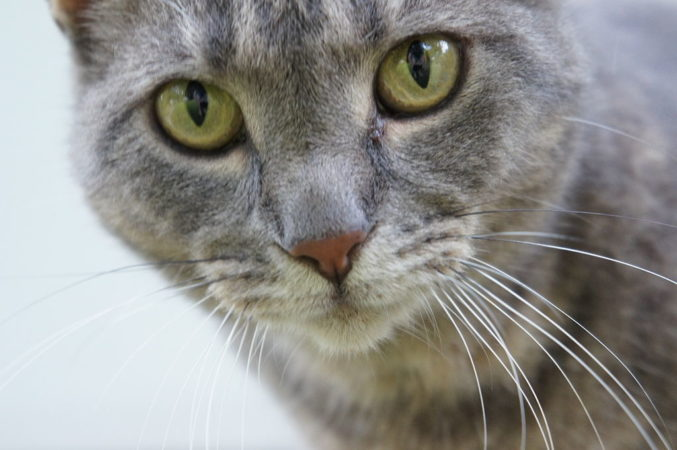 An intense looking, grey tabby cat stares back at you from the wild.