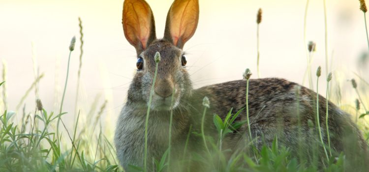 a rabbit is seen with ear ups, peaking through thin stands of grass. Light yellows in the background suggest a sunny day, but the rabbit is in shade. The sun shines through the rabbits raised ears.