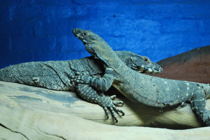 Photo of two reptiles that seem to be embracing