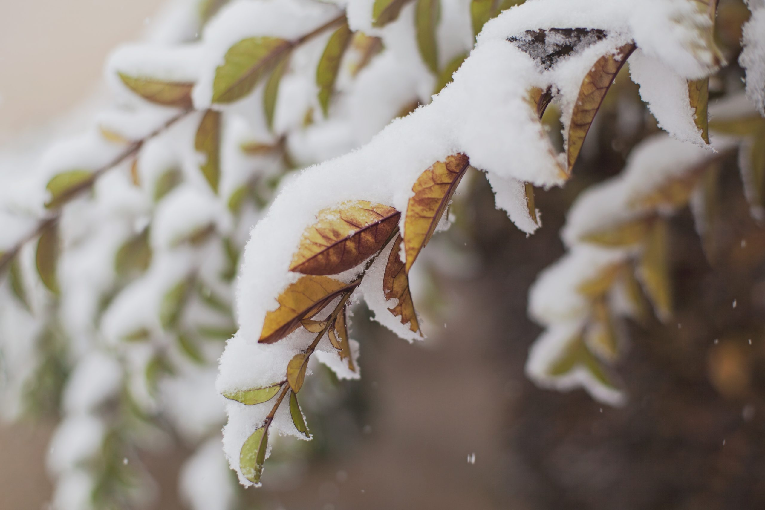 Photo of orange and green leaves on a branch laden with snow.