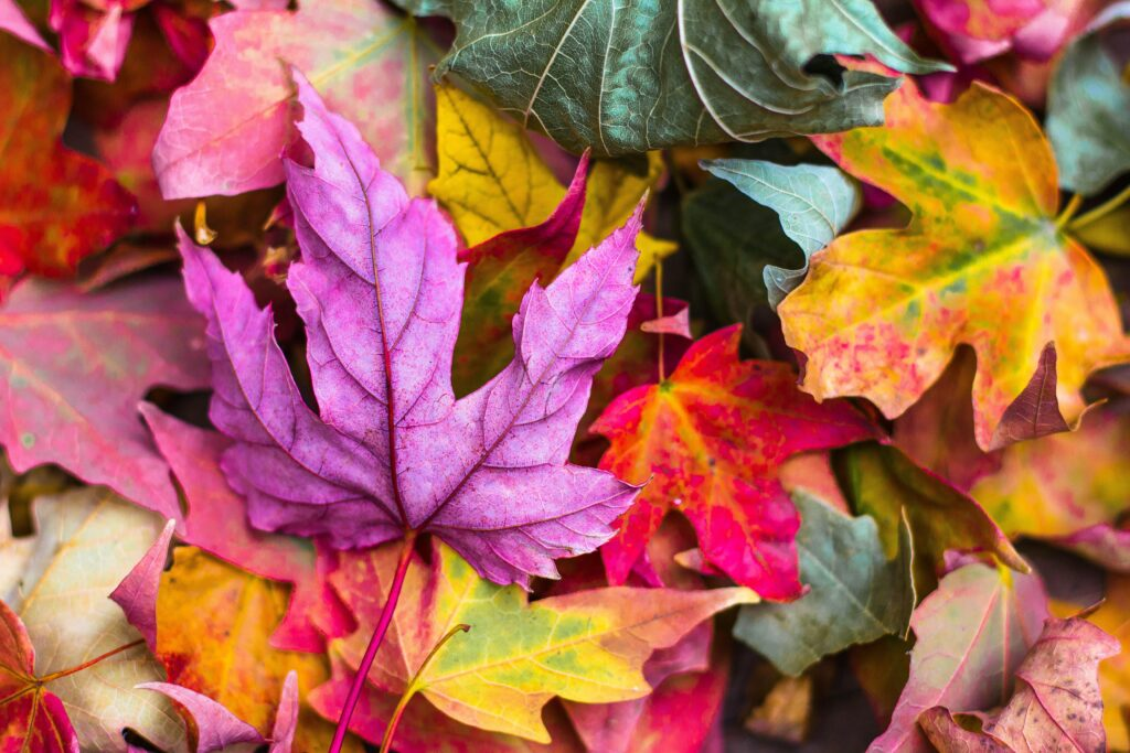 An assortment of red, orange, green and purple leaves on the ground.